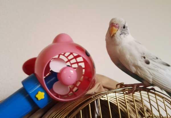 扇風機で遊ぶインコ